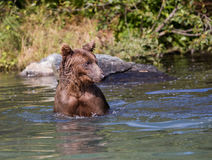 Coastal brown bear in the water Stock Images