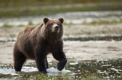 Coastal Brown Bear royalty free stock photos