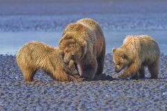 Coastal Brown Bears on the Mud Flats Royalty Free Stock Photos
