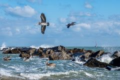 Free Coastal Brown Pelicans Stock Images - 59841474