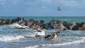 Coastal Brown Pelicans. Pelicans at the Fort Pierce inlet, Florida. The Florida Brown Pelican (Pelecanus Occidentalis) is  the smallest of all pelicans in the Royalty Free Stock Images