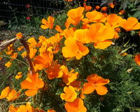 Coastal California Poppies Stock Images