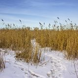 Coastal cane. Royalty Free Stock Images