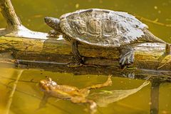 Coastal Cooter and frog Royalty Free Stock Photo