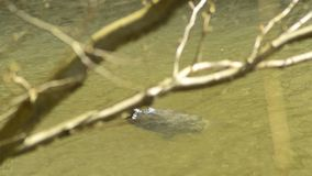 Coastal Cooter swimming in a pond stock footage