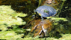 Coastal Cooter Turtle Stock Image