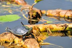 Coastal cooter turtle Royalty Free Stock Photography