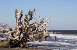 Driftwood Beach at Hunting Island State Park in SC stock photo