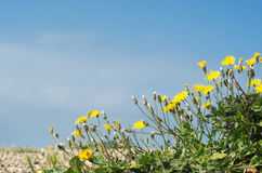 Coastal Flora - Dandelions on Pebble Beach Stock Photo