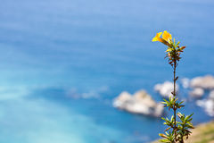 Coastal Flower. A lone flower graces a rugged coastline with the deep blue sea in the background Royalty Free Stock Photo