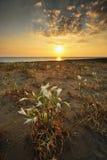 Coastal flower field at sunset stock image