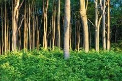 Coastal forest on the Baltic Sea coast Stock Image