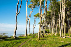 Coastal forest at the Baltic Sea Stock Image
