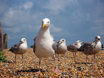 Coastal gang. A gang of angry seagull hooligans with their leader Royalty Free Stock Photography
