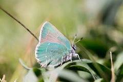 Coastal Green Hairstreak (Callophrys dumetorum) camouflaged. Mendocino County, California, USA Royalty Free Stock Image
