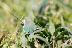 Coastal Green Hairstreak (Callophrys dumetorum) camouflages on a green plant Royalty Free Stock Photos
