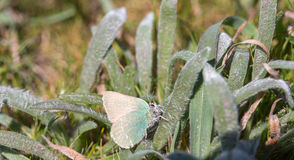 Coastal Green Hairstreak (Callophrys dumetorum) camouflages on a green plant Stock Images