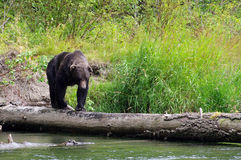 Coastal Grizzly. A grizzly, or brown bear, walking on a log over a river looking for salmon Stock Photo