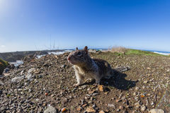 Coastal ground squirrel Royalty Free Stock Photo