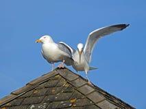 Coastal gulls jostling for position Royalty Free Stock Photo