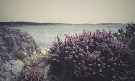 Coastal heather on a dreary day royalty free stock image