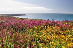 Coastal heathland in summer. Heathland with gorse on the coast of Wales Royalty Free Stock Photo