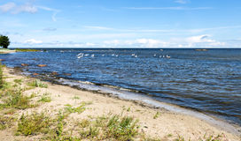 Coastal landscape at the Baltic Sea with flock of swans Stock Photography
