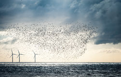 Coastal landscape. Off shore wind farm with large flock of waders at sunrise Stock Photos