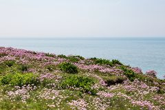 Coastal Landscape, Sussex. Sea Thrift flowers on a cliff in Sussex royalty free stock images