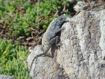 Coastal Lizard Stock Photos