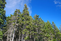 Coastal Maine Pine trees growing in a seaside grove Stock Images