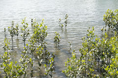 Coastal mangroves in river estuary. Stock Images
