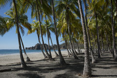 Coastal palm trees Royalty Free Stock Image