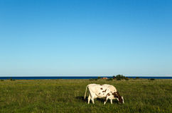 Coastal pasture land with one grazing cow Stock Photo