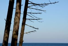 Coastal pines on the Baltic Sea. Pine trees on the Baltic Sea. Three trees. Three trunks of pine trees without needles and green. Against the sea and sky. It Stock Photography