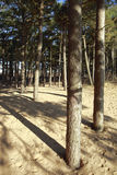 Coastal pinewoods at Formby Point. On the Sefton Coast, Merseyside, UK Royalty Free Stock Image