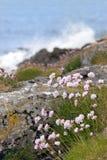 Coastal pink wildflowers Stock Photos