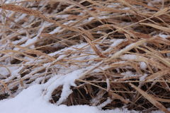 Coastal plant cane Phragmites in the winter under snow Royalty Free Stock Images