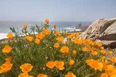 Coastal poppies Royalty Free Stock Photography