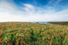 Coastal Poppies Royalty Free Stock Image