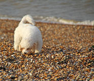 Coastal puppy dog. Photo of a beautiful puppy dog by the coast of whitstable in kent Stock Image