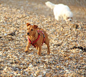 Coastal puppy dogs. Photo of two beautiful puppy dogs by the coast of whitstable in kent Stock Images