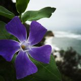 Coastal purple flower. Bay Area Northern California half moon bay bloom ocean overcast Stock Image