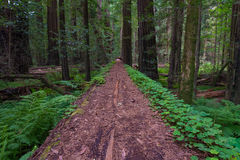 Coastal Redwood Forest in California Royalty Free Stock Image