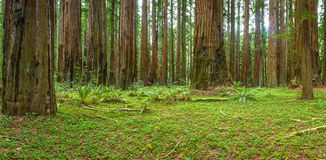 Coastal Redwood Forest. Panoramic Composition of Coastal Redwood Forest With Ferns and Wood Sorrel Stock Photography