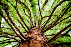 Coastal Redwood. Looking up the trunk of a pacific coastal redwood Royalty Free Stock Image