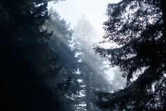 Coastal redwood trees in the Redwood National Park. California, Crescent City, Spring stock photography