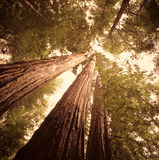 Coastal Redwoods. Northern California coastal redwoods in morning light Royalty Free Stock Image