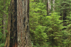 Coastal Redwoods Royalty Free Stock Photography