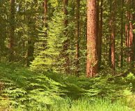 Coastal Redwoods and Ferns - a vibrant forest. Royalty Free Stock Photography